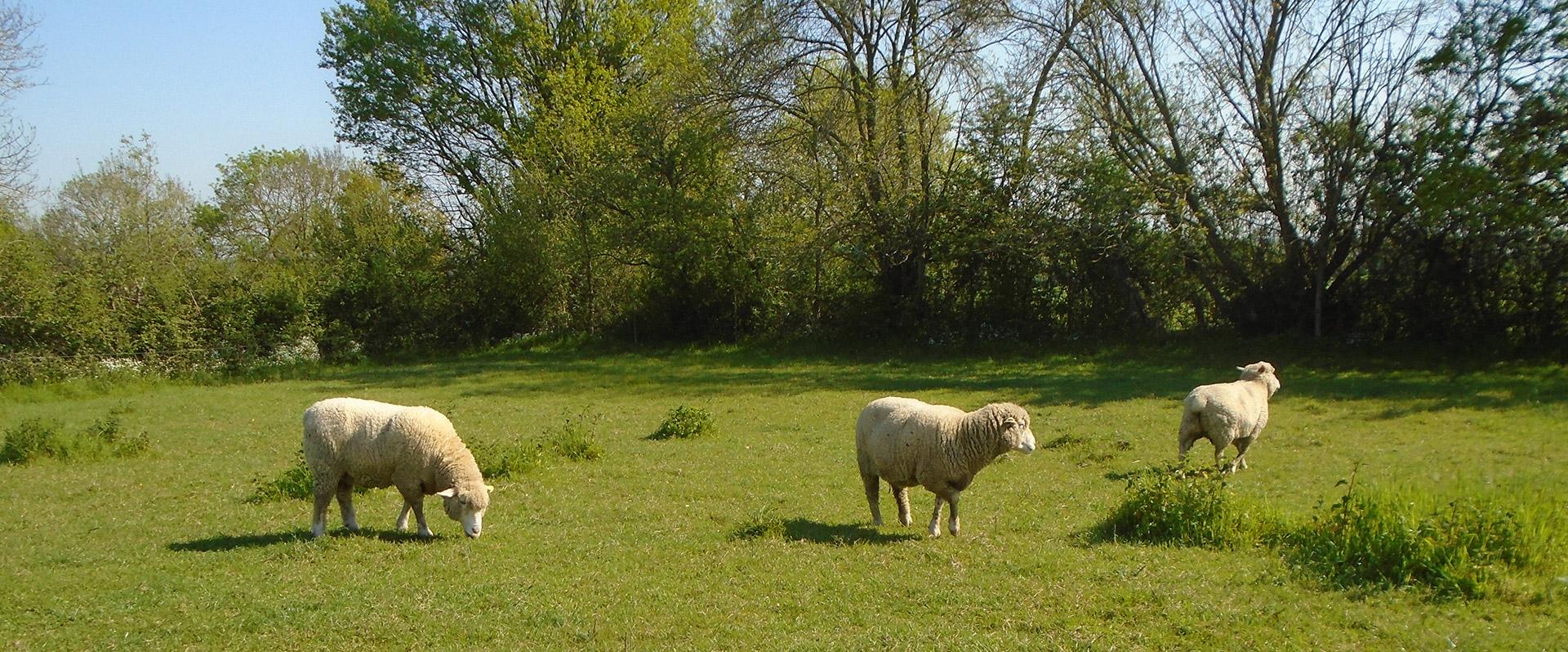 natur-élevage-saint-géréon-brebis-bio